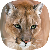 Mountain Lion Sounds APK