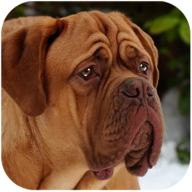 Mastiff Dog Simulator APK